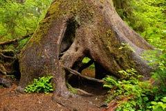 Hoh Rain Forest Stock Photos
