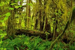 Hoh Rain Forest Stock Photos