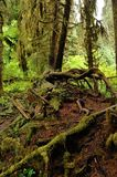 Hoh Rain Forest Royalty Free Stock Image