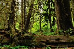 Hoh Rain Forest Stock Image