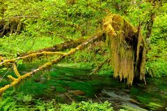 Hoh Rain Forest Royalty Free Stock Photography