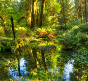 Hoh Rain forest Royalty Free Stock Photos
