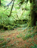 HOH RAINFOREST. Rainforest floor and tree covered with moss Royalty Free Stock Photo
