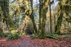 Hoh Rainforest al parco nazionale olimpico, Washington, U.S.A. Immagine Stock Libera da Diritti