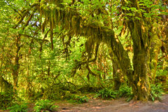 Hoh Rainforest Royalty Free Stock Photography