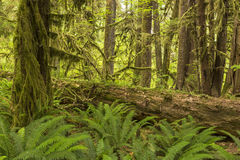 Hoh Rainforest Ferns and Log. Lush ferns surround a huge log in the Hoh Rainforest in Olympic National Park, Washington Stock Images
