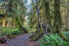 Hoh Rainforest at Olympic national Park Stock Photography