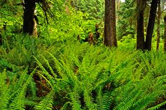 Hoh Rainforest. In Olympic National Park in Washington state Stock Images
