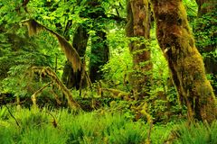 Hoh Rainforest Royalty Free Stock Images