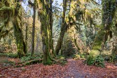 Hoh Rainforest at Olympic national Park, Washington, USA Stock Photography