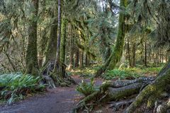 Hoh Rainforest at Olympic national Park Royalty Free Stock Photos