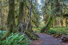 Hoh Rainforest at Olympic national Park Stock Photos