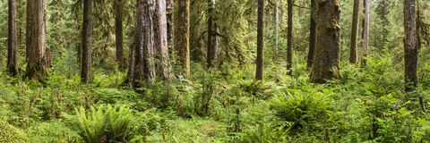 Hoh Rainforest Panorama Stock Photography
