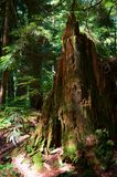 Hoh Rainforest Stock Images