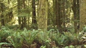 Hoh Rainforest Spruce Hemlock Cedar-Bomen Fern Groundcover Stock Fotografie