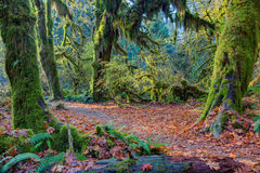Hoh Rainforest view, Hall of mosses Stock Image