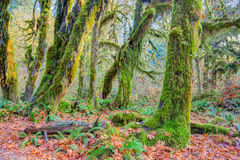 Hoh Rainforest view, Hall of mosses Stock Photo