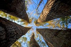 Hohe Ahornbäume Stockfoto