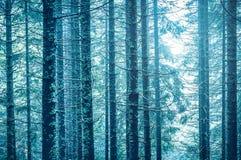 Hohe alte Baumstämme des Märchenwaldsonnenscheins Stockfotos