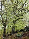 Hohe alte prächtige Buchenbäume mit vibrierendem grünem Federblattmoos umfassten Barke und große Wurzeln im Abhangwald mit Moos Lizenzfreie Stockfotos