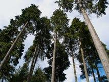 Hohe Bäume, die oben von einem niedrigen Winkel schauen Stockbild