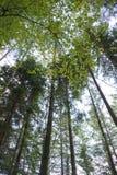 Hohe Bäume in einem schottischen Wald Stockfotos