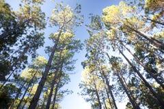 Hohe Bäume in einer Waldplantage unter einem blauen Himmel Stockfotografie