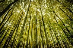 Hohe Bäume am Fall stockfoto