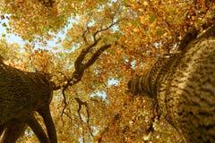 Hohe Bäume gesehen von unten während des Herbstes in Yoyogi-Park, Tokyo, Japan Stockfoto