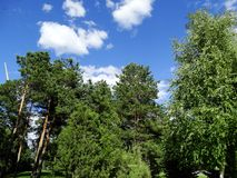 Hohe Bäume im Park Lizenzfreies Stockbild