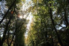 Hohe Bäume mit dem Sonnenlichtströmen Stockbilder