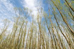 Hohe Bäume mit jungen frischen Blättern an einem schönen Tag während des spr Stockfotos