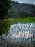 Hohe Bäume und Reispaddys, Schatten und Kontrast, Flores, Indonesien Lizenzfreies Stockbild