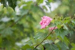 Hohe Belichtungszeit der Baumwollrosafarbenen Blume mit Wasser fällt am regnerischen Tag Stockfotografie