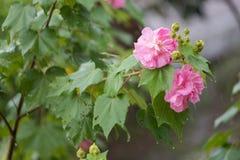 Hohe Belichtungszeit der Baumwollrosafarbenen Blume mit Wasser fällt am regnerischen Tag Stockbild