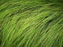 Hohe dünne Anlagen des grünen langen Grases auf dem Feld stockfotos