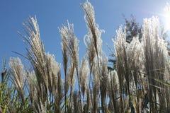 Hohe dekorative Gräser im Sonnenlicht Lizenzfreies Stockfoto