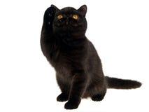 Hohe fünf durch schwarzes exotisches persisches Kätzchen stockfotos