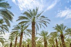 Hohe Feigendattelpalmebäume im Mittlere Osten-Obstgarten stockfoto
