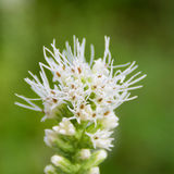 Hohe flaumige weiße Blume Lizenzfreie Stockbilder