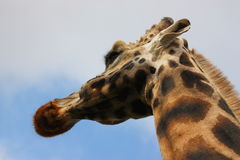Hohe Giraffe Stockfoto