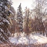 Hohe grüne Fichten im Winterpark bedeckten mit frischem weißem Schnee lizenzfreie stockfotos