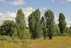 Hohe grüne Bäume im Gras auf einer Wiese gegen den Himmel lizenzfreie stockbilder
