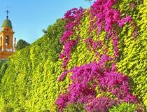 Hohe Hecke von Grünpflanzen und von blühendem Bouganvilla lizenzfreie stockfotos
