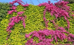 Hohe Hecke von Grünpflanzen und von blühendem Bouganvilla stockbild