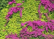 Hohe Hecke von Grünpflanzen und von blühendem Bouganvilla lizenzfreie stockbilder