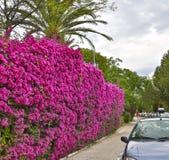 Hohe Hecke von Grünpflanzen und von blühendem Bouganvilla stockfotos