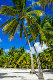 Hohe Königpalmen auf sandigem karibischem Strand Stockbild