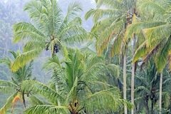 Hohe Kokosnussbäume im Regen lizenzfreie stockbilder