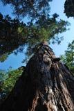 Hohe Krone des Mammutbaumbaums lizenzfreie stockfotografie